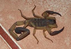 BIG O' SCORPION ON OUR BEDROOM FLOOR