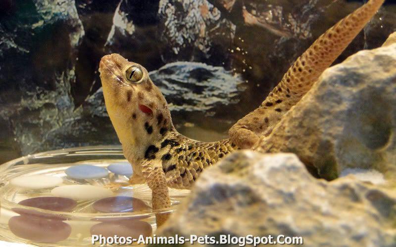 http://1.bp.blogspot.com/-Z18v6T9mcJ0/TxWPTdO0udI/AAAAAAAAC7I/PMEuyOmIyJQ/s1600/geckos%2Bpet.jpg