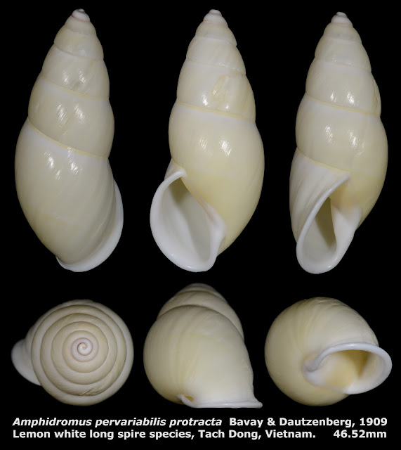 Amphidromus pervariabilis protracta 46.52mm