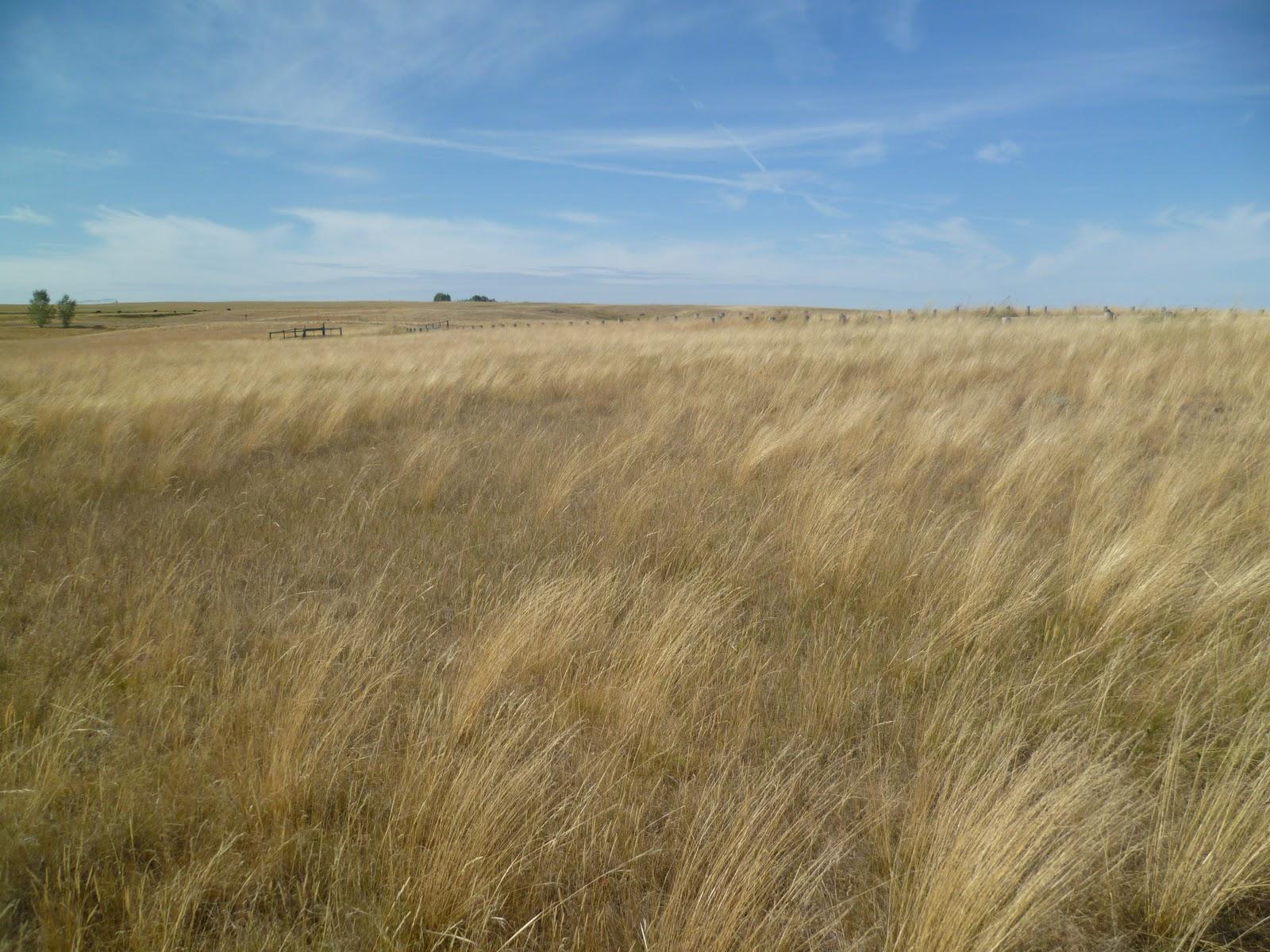 how tall is prairie grass
