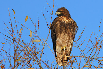 http://1.bp.blogspot.com/-Z1NnzGqFwI4/TuOhI7Rx-1I/AAAAAAAAE_M/XJlD-SH4-s4/s1600/red-tailed+hawk+perches+in+a+tree+winter+adult.jpg