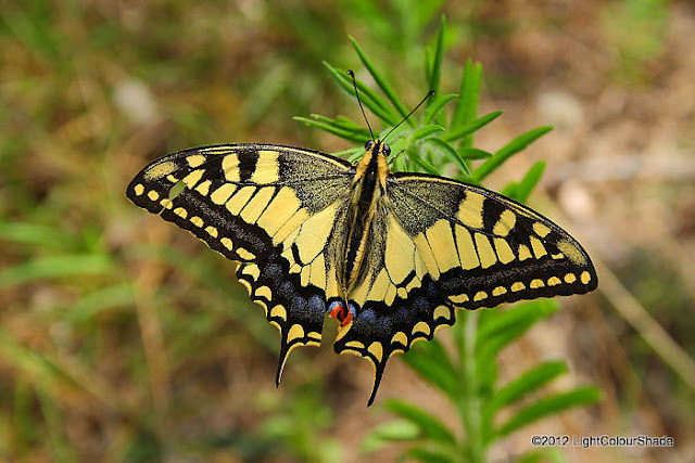 Tiger swallowtail butterfly close-up