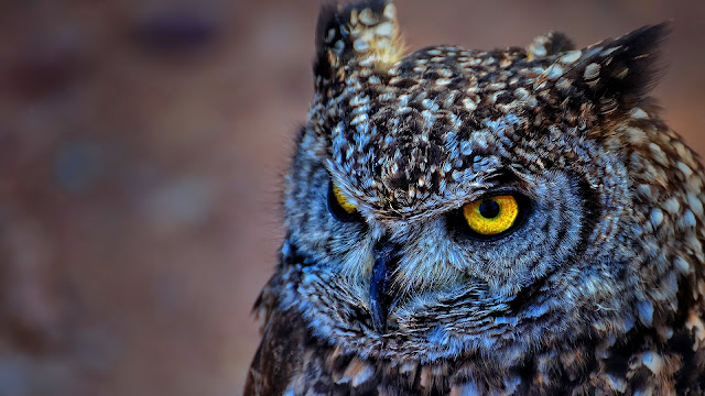 Spotted Eagle Owl HD Wallpaper