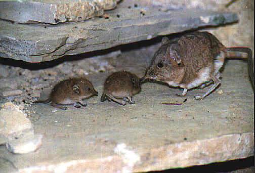3 shrew in a terrarium Shrew Predators