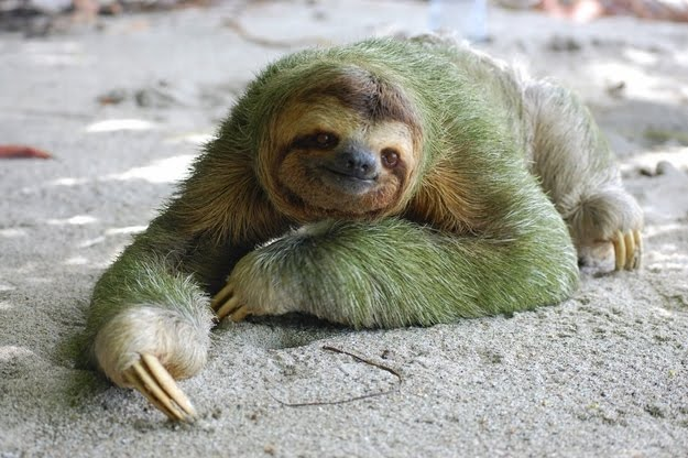 8 oddly colored creatures, amazing creatures, Green Sloths