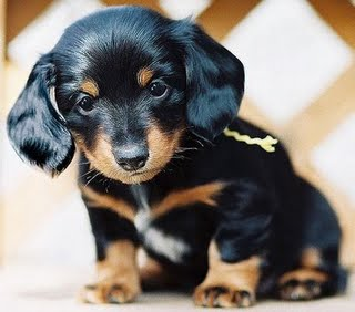 Cute Dachshund Puppy 1