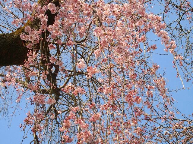 霊宝館裏にある桜。