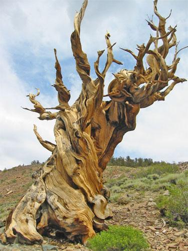 عينات '' لاقدم شجرة'' في العالم بالصور 7_bristlecone