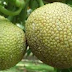 Nutrient Content of Fruits Breadfruit