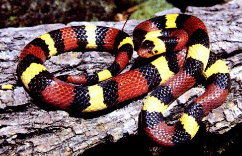 Milk Snake (Lampropeltis triangulum) ~ My Pet