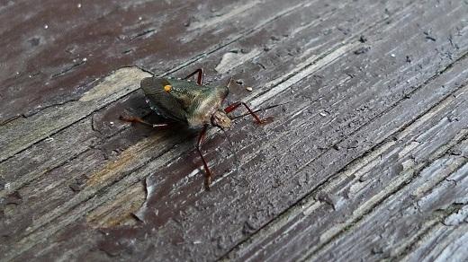 Rödbent stinkfly - Pentatoma rufipes