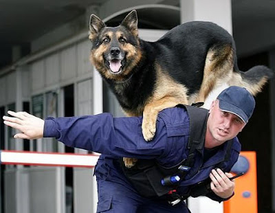 تدريب كلاب الصيد علي القفز