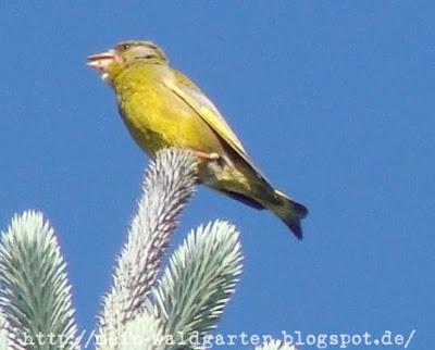 mein waldgarten ein ganz gelber vogel hoch oben im tannenbaum. Black Bedroom Furniture Sets. Home Design Ideas