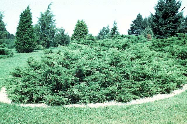 النصائح للزراعة المنزلية محدود juniper.jpg