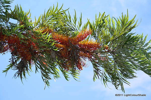 Grevillea robusta (Silky-oak) branch with flowers