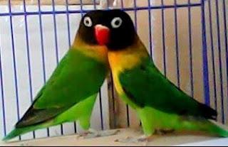 mengetahui ciri ciri burung lovebird dakocan