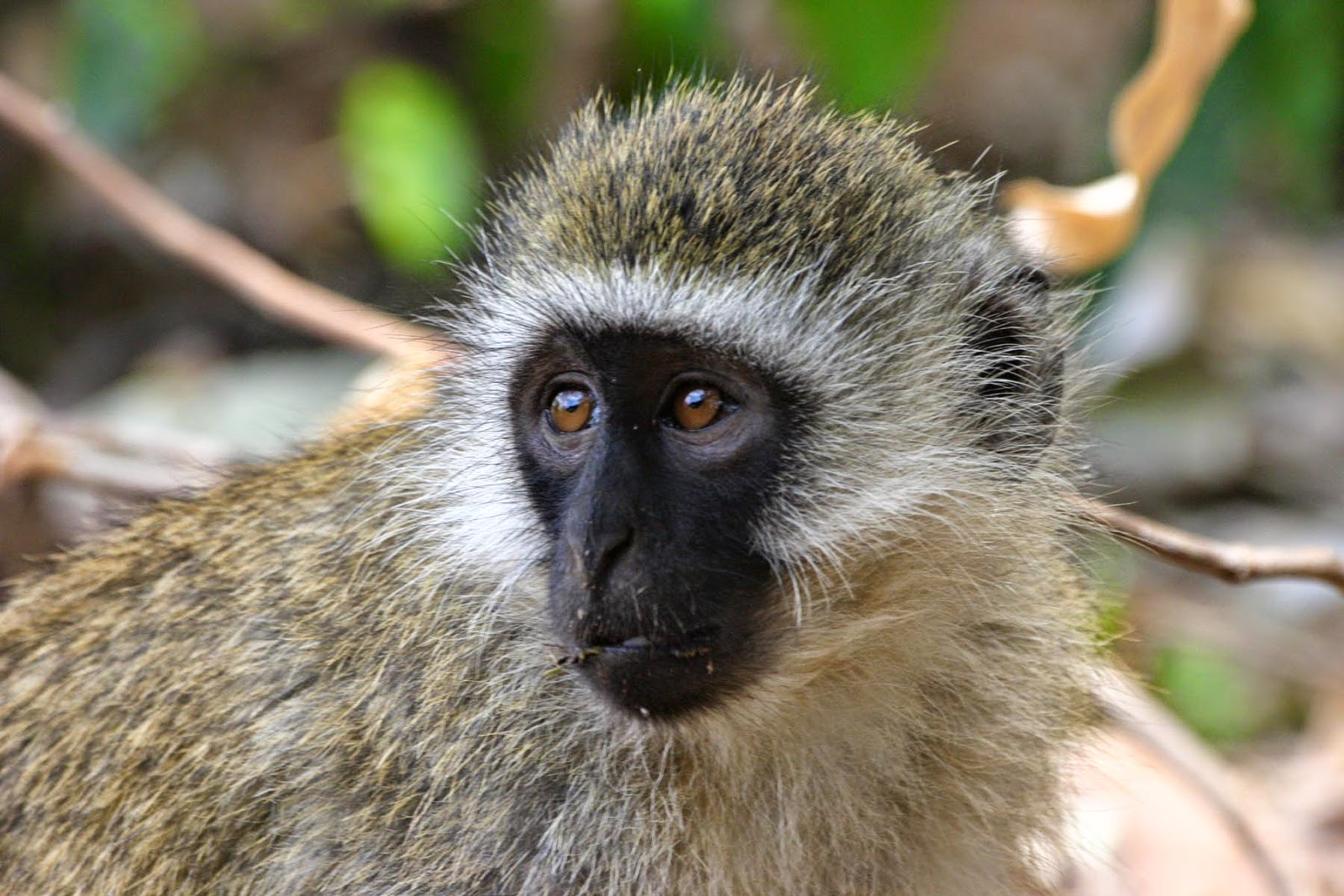 Vervet Monkey - Ubuntu