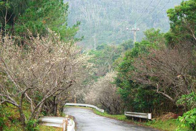 country road,trees, plum blossoms, guardrails, mountains