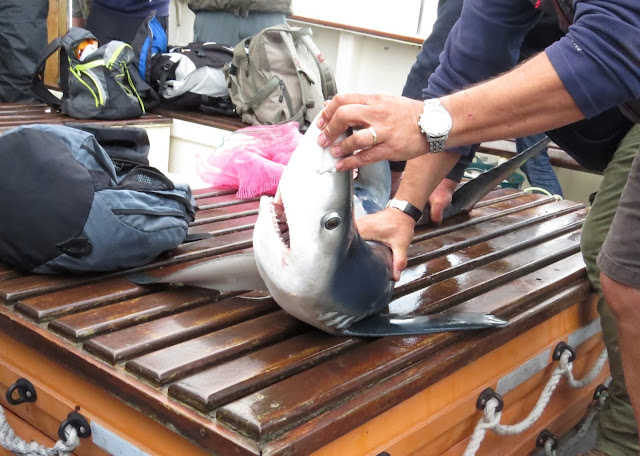 Blue Shark - Scilly Pelagics