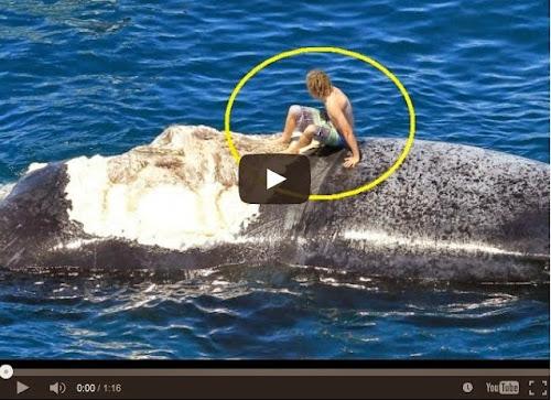 Australiano idiota surfa em carcaça de baleia