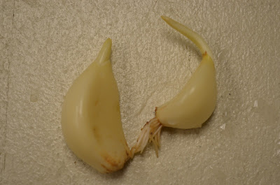 how to stop garlic from sprouting
