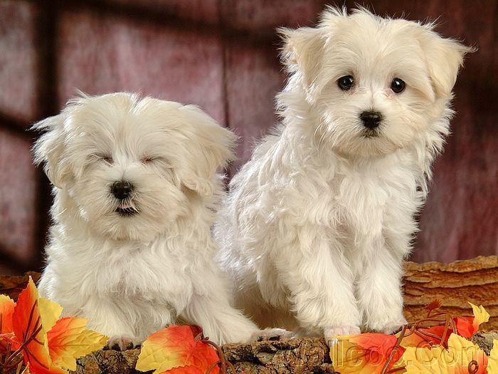 Cute Dogs: Cute Maltese Puppy Dogs