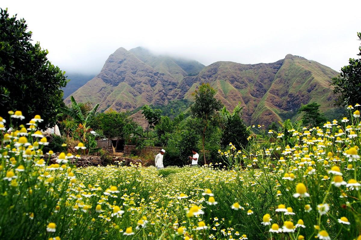 ladang bunga chamomile