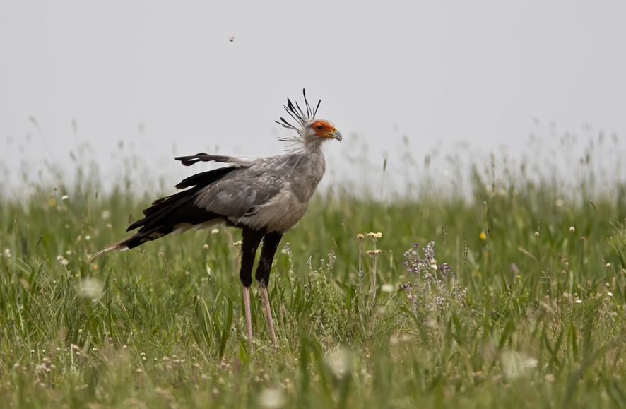 African Grassland Birds The gallery for -->...
