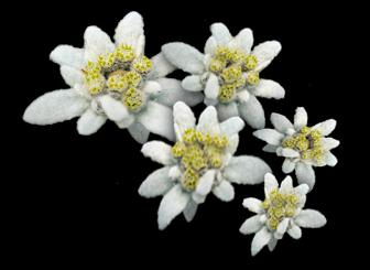 La flor de nieve (Edelweiss) crece en nuestras altas montañas.- Símbolo de amor eterno.