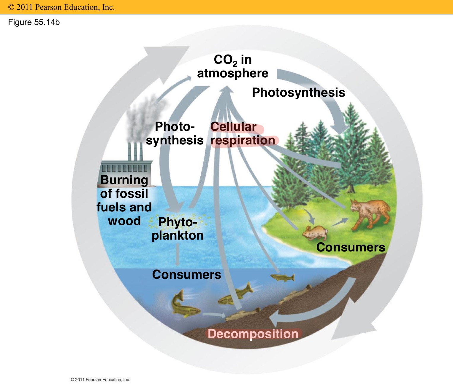 how humans affected biogeochemical cycles in the ecosystem Biogeochemical cycles human activities have greatly increased carbon dioxide levels in the atmosphere and global-scale alterations of biogeochemical cycles are occurring, from one of the dominant effects of reactive nitrogen on climate stems from how it interacts with ecosystem.