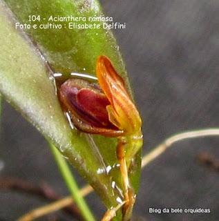 Pleurothallis ramosa, microorquidea