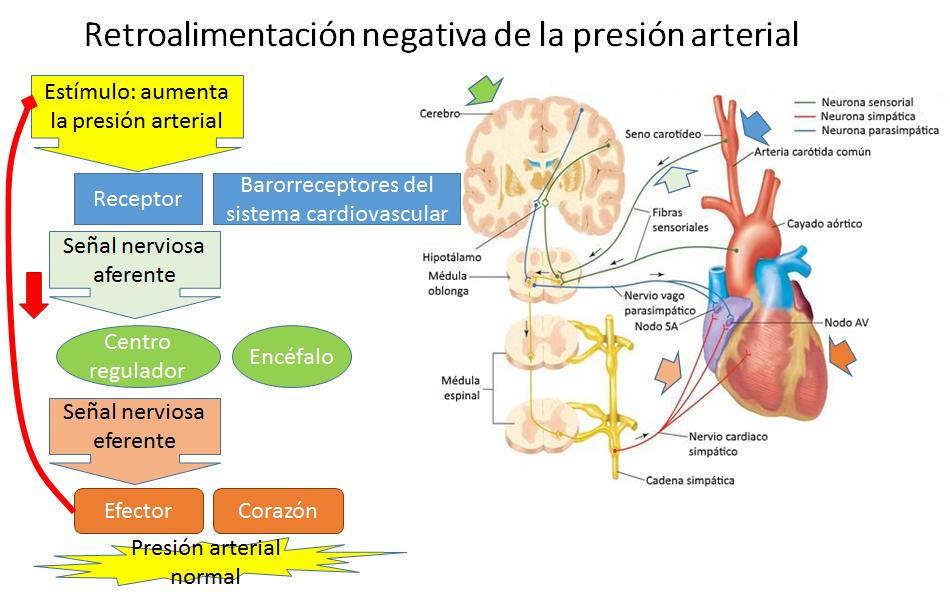 B.log.ia 2.0: Introducción a la Anatomía Aplicada: organización ...