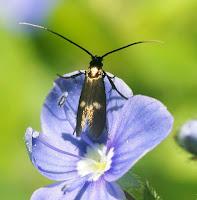 Latest New Micro Moth Species - Adela fibulella