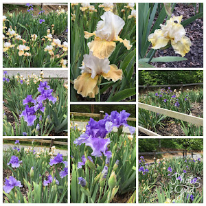 The Irises at the farm