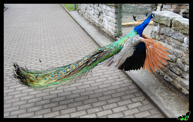 cute peacock flying