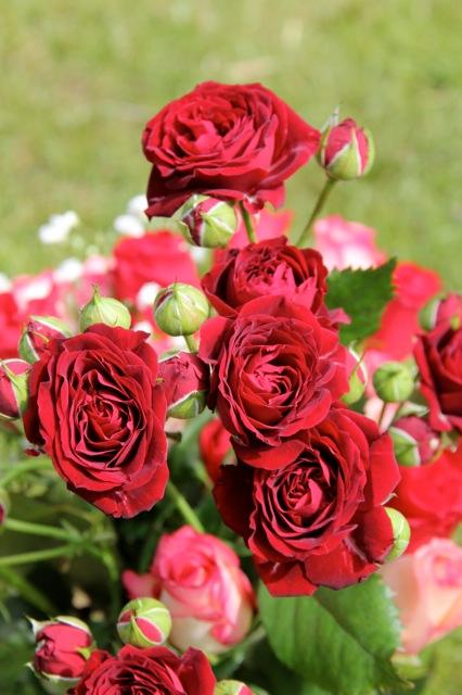 blå måndag ros