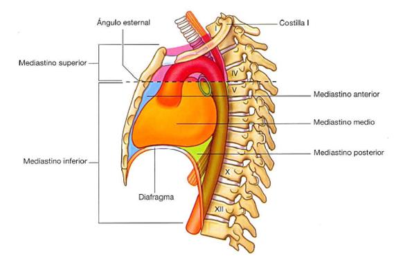 GABINETE LUISI MOTTA: El ángulo de Louis (ángulo esternal en la ...