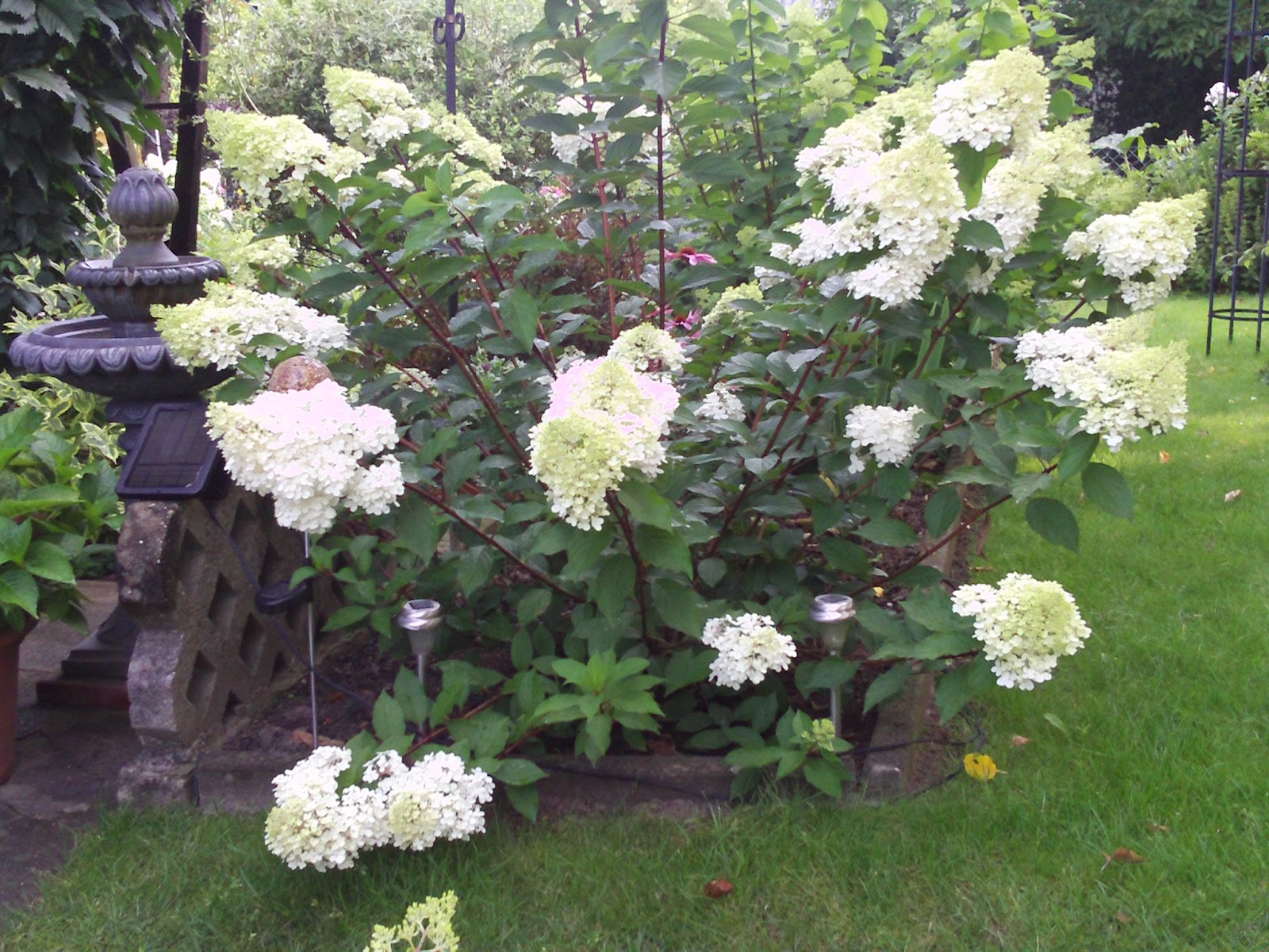 hydrangea paniculata vanille fraise rispenhortensie gartenelfe. Black Bedroom Furniture Sets. Home Design Ideas