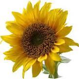 زراعة عباد الشمس
