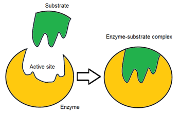 relationship of enzyme structure and specificity