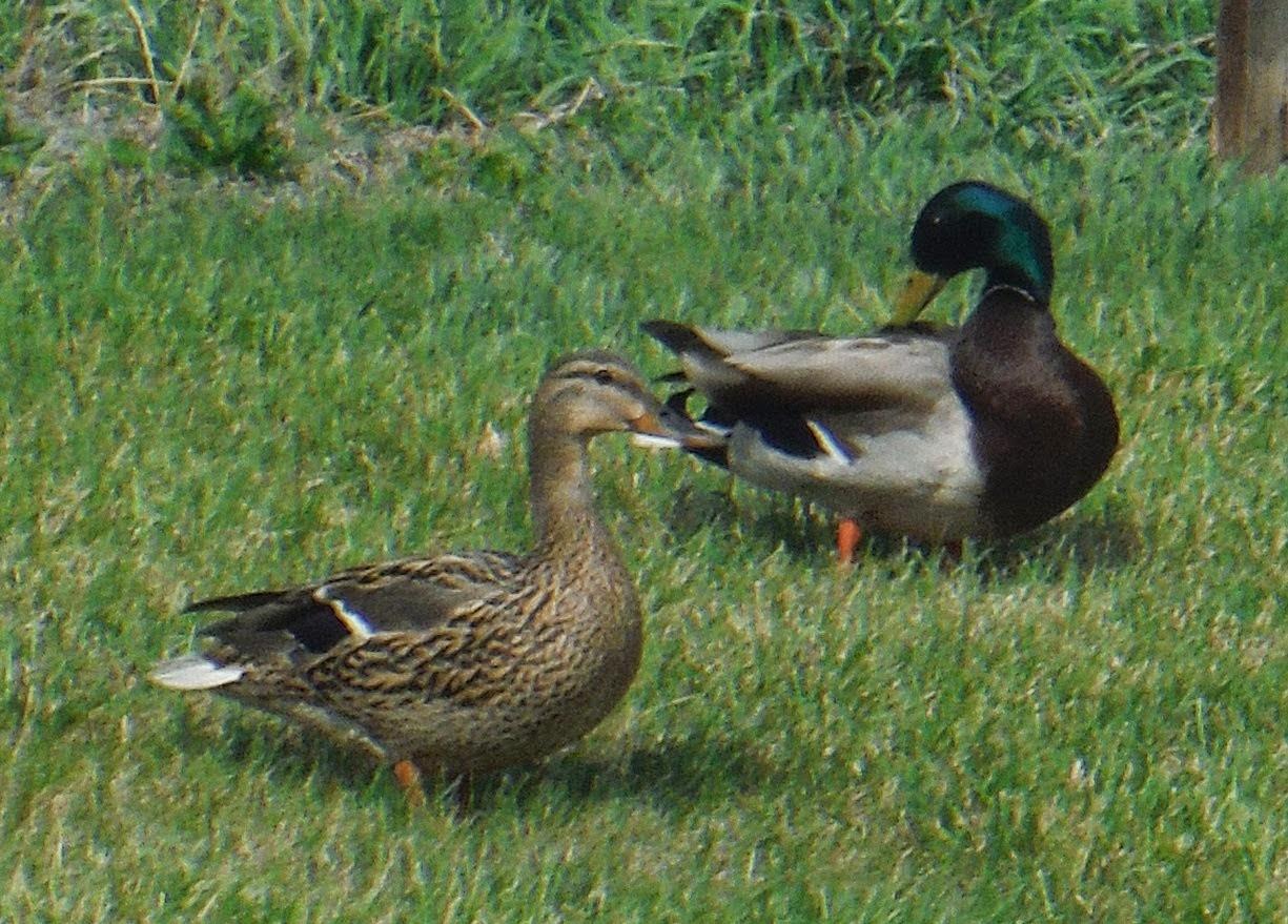 Ducky Ducky