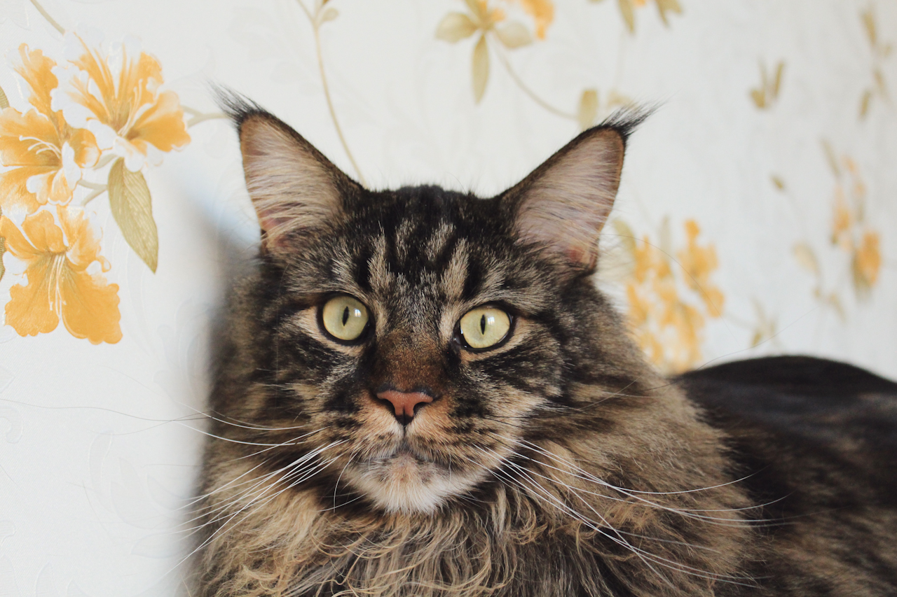 Jacob, LIVE 2015, Maine Coon