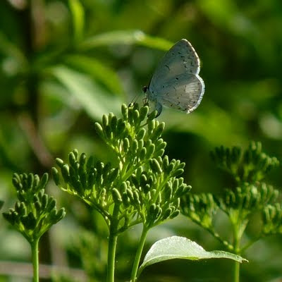 Summer Azure ovipositing on a Gray Dogwood