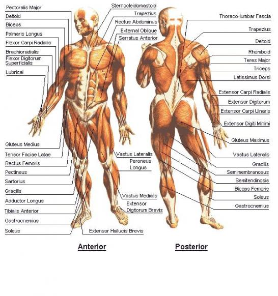 Human Anatomy and Physiology: Chapter 9: Gross Anatomy and Functions ...