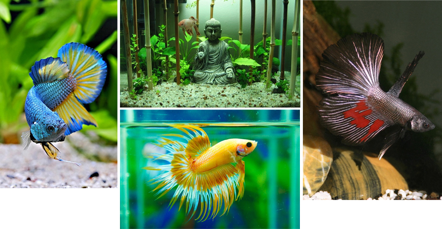 Nano Akwarium Nano Zwierzęta Bojownik Betta Splendens