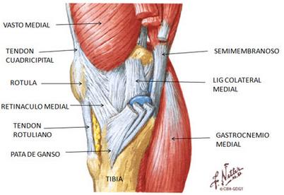 Anatomia musculos de la rodilla hd 1080p 4k foto - Dolor en la parte interior de la rodilla ...