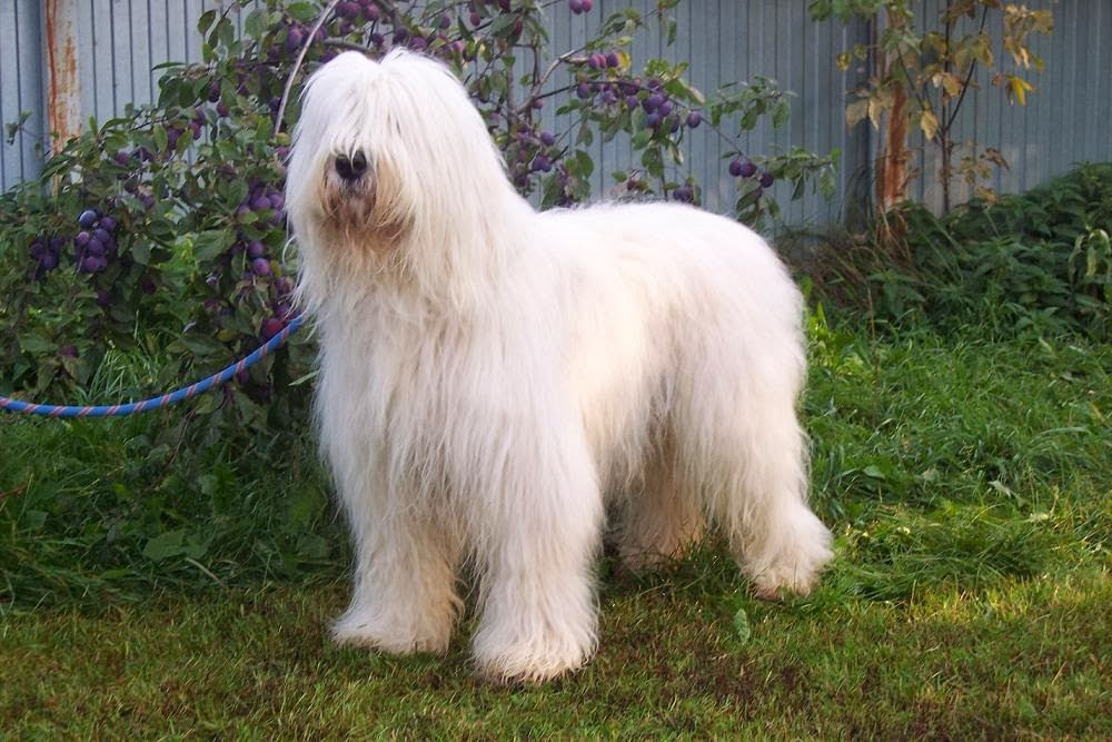 ... ukrainian ovcharka or south russian sheepdog is a large long haired 12