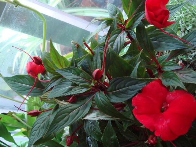 Fotografiando plantas alegr a de la casa - Planta alegria de la casa ...