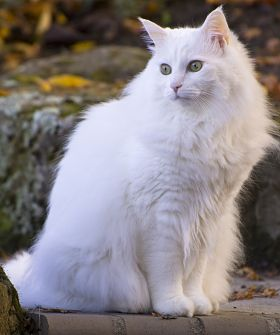 Size and Weight of Turkish Angora Cat