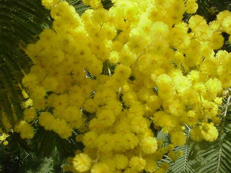 Rory e Lulù: le chiacchiere su di tutto un po': La mimosa (da Lulù)